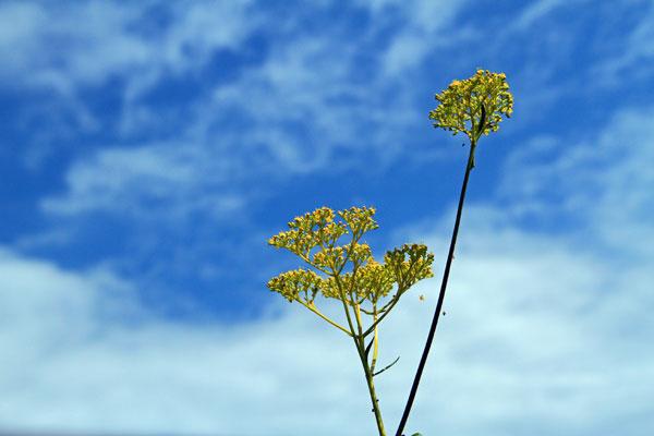 青空に黄色のオミナエシ