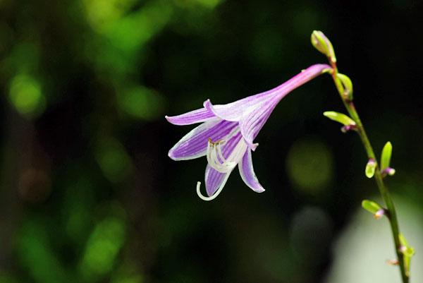 ギボーシの花
