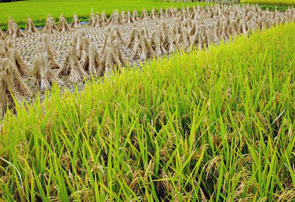 稲刈り中隣では並べた藁束 ・・