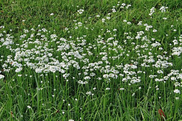ニラの白い花 大束川