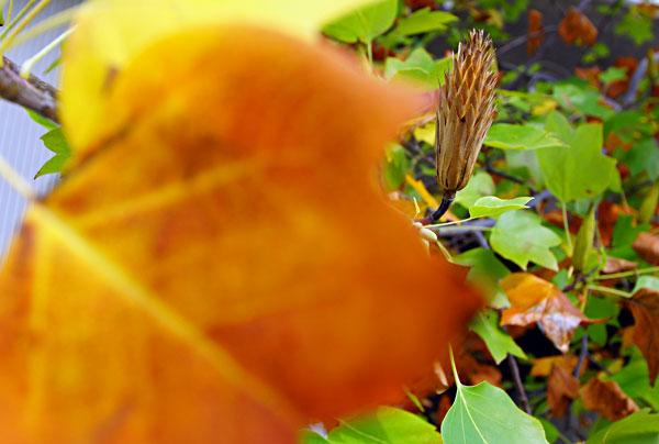 街路樹のプラタナスも秋色に染まり・・
