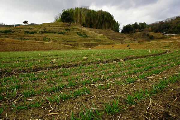 綾川 羽床の段々畑には小さな麦が・・