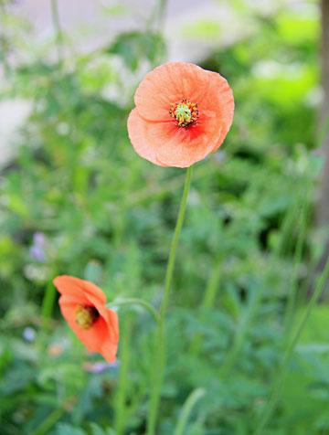 オレンジ色のケシの花 鮮やかに ・・