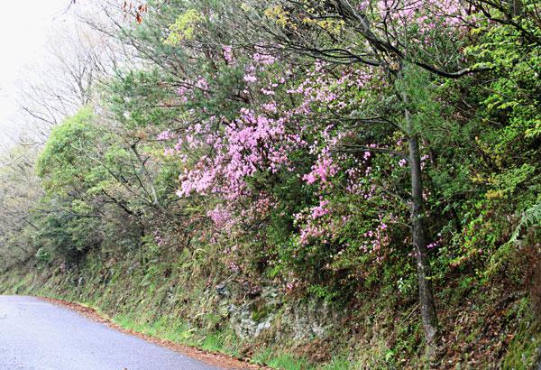 桜も散り 今度は山つつじが迎えてくれる