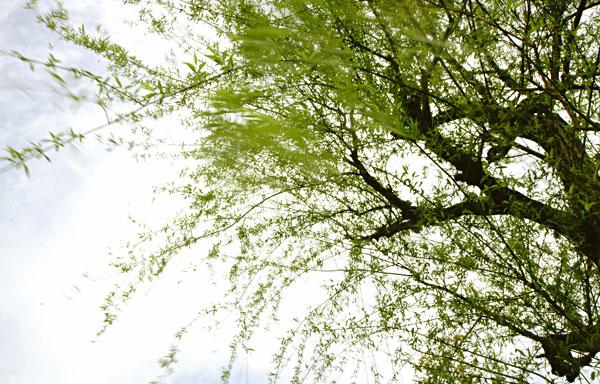 芽吹いた枝垂れ柳もゆったりと ・・