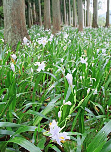 徳 神山 咲き始めたシャガーの花