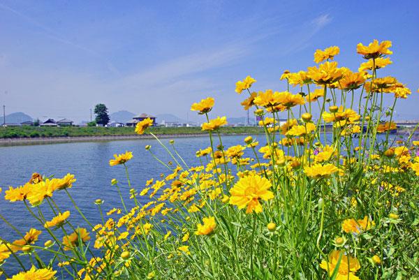 ハルシャキク?今を盛りと咲く 綾川河口