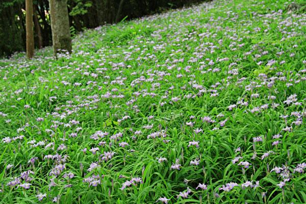 ヒメシャガーの花がいっぱい・・