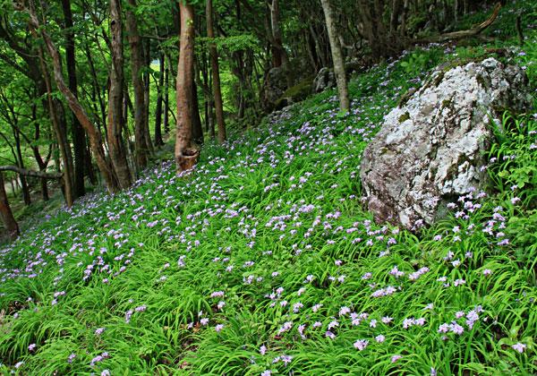 四国の背骨の山中にヒメシャガーの花が咲き乱れ・・