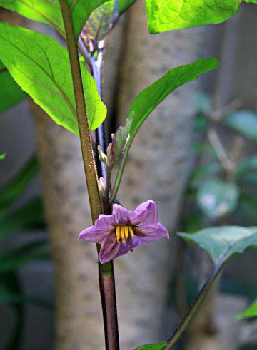 我が家の狭い庭に 茄子の花 2個・・