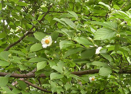 西念寺の夏つばき 咲き始める
