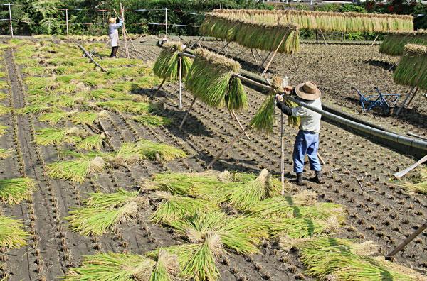 秋空のもと稲穂の束を乾燥・・この米がより美味いご飯となる