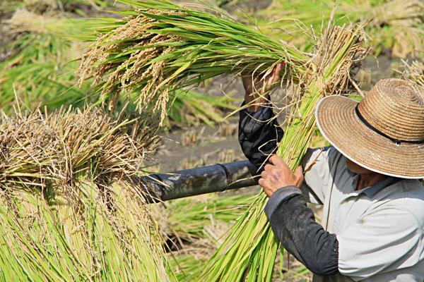 ハザに架け風と天日で乾かすと良い米になる