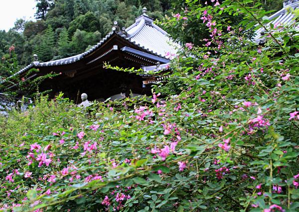 萩の花にうずもれて微笑む大師 最明寺