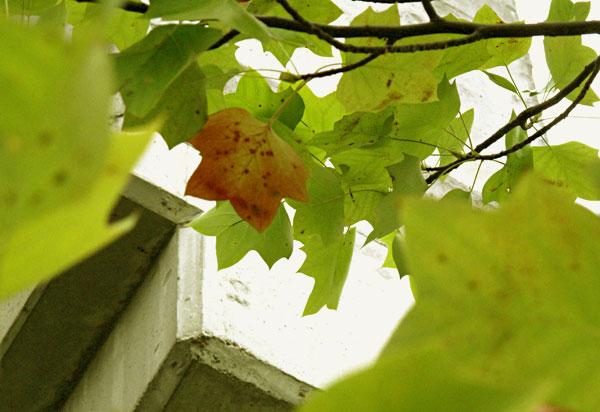 校庭 高架橋横など黄色の葉っぱちらほら・・