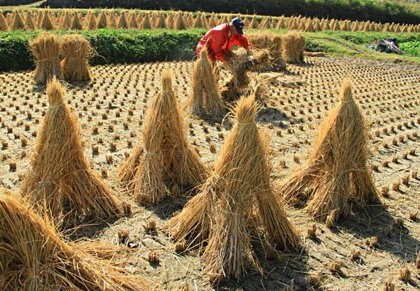 三角に乾燥させて牛のエサや敷き藁に使用・・東植田辺り ・・