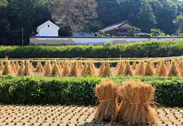 東植田辺りでは収穫後の稲わらを干して牛のエサに使用・・