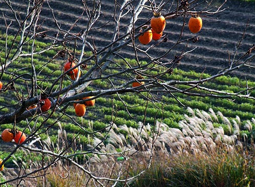 鈴なりの残り柿が車窓から飛び去ってゆく・・