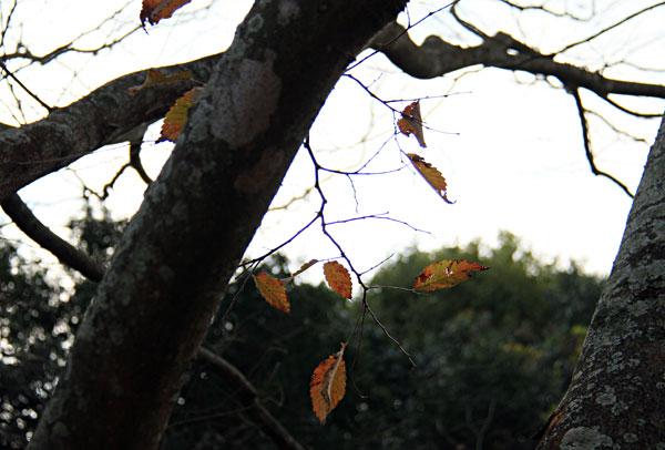 風雨に耐え木を守るがごとく枯葉 やがて散る・・