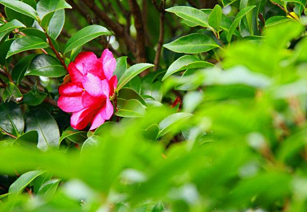 角を曲がると何時咲いたのか赤い山茶花が眼に飛び込んで ・・