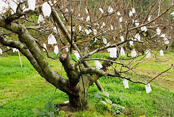 飯山の桃畑 空袋の花咲いている