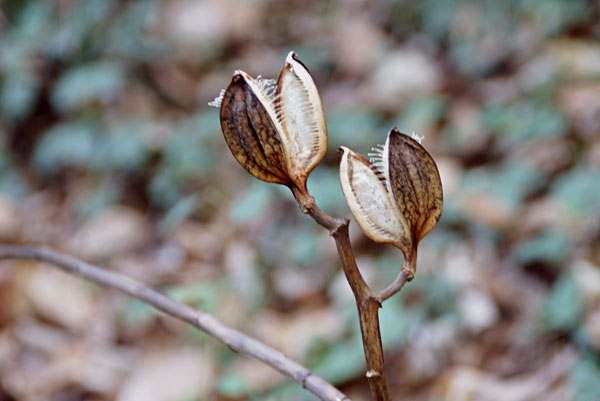 冬の百合(ウバユリ)実から種そして穂綿となり弾き飛だす