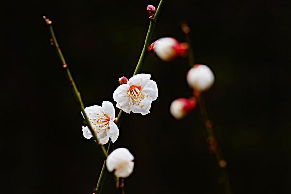 寒々と咲く寒桜 ・・琴南にて