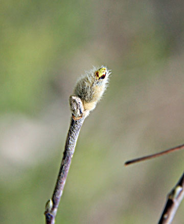 猫柳ふわふわ蕾や 春を待つ ・・