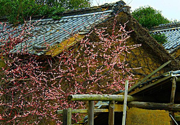 人去りて壊れた家に梅の花満開なり