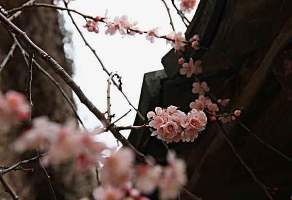 今を盛りと咲いている梅
