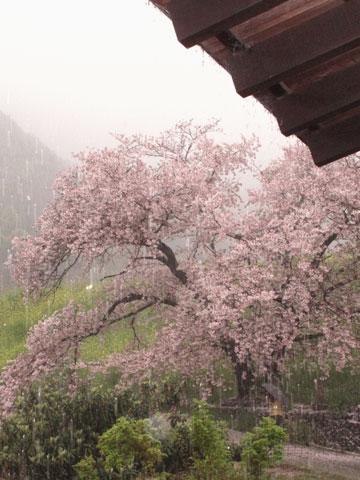 雨の花見 炬燵の中より桜みて酒を酌む・・