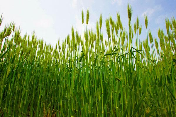 青い麦の穂は清々しい初夏の感・・