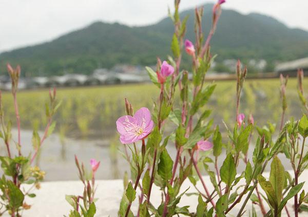 田植えの終わった畔みちに野フウロウが咲く