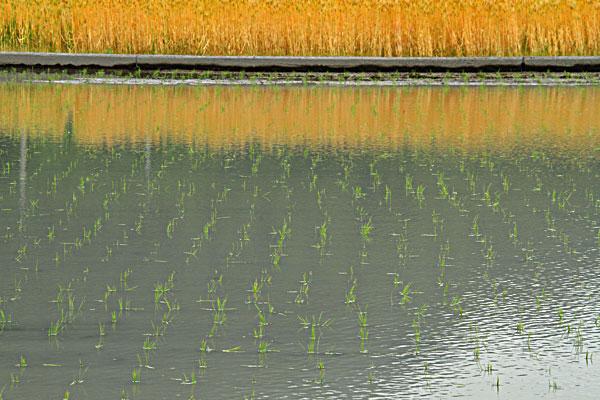 田植えあとに熟れた麦の影を映す風景なり
