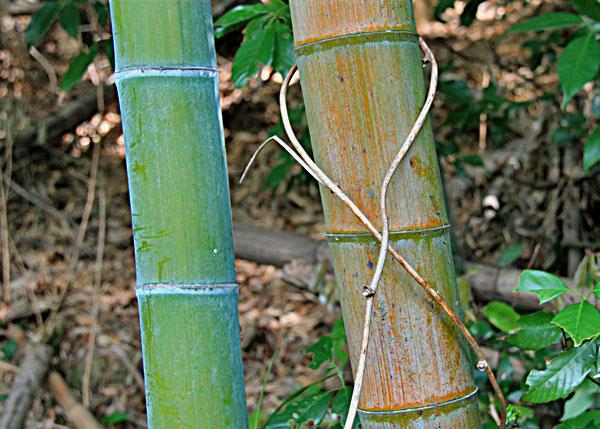 雨に打たれた枯れた竹の葉を踏んで ・・
