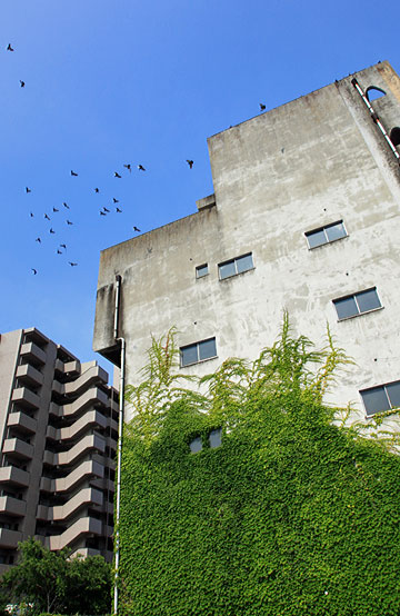 青蔦をビルの窓に挿すなり鳩が舞う
