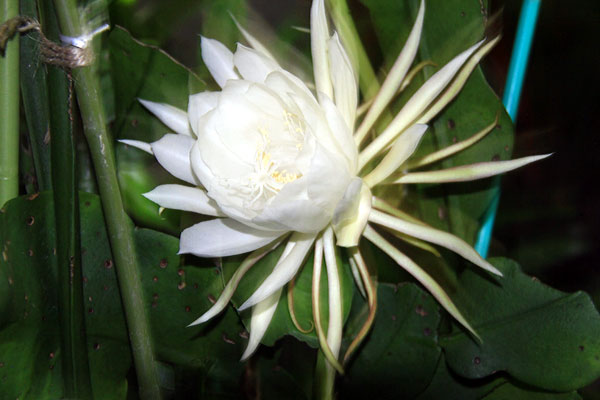 夜中に妖しく咲き香り高き儚い哀しい花である