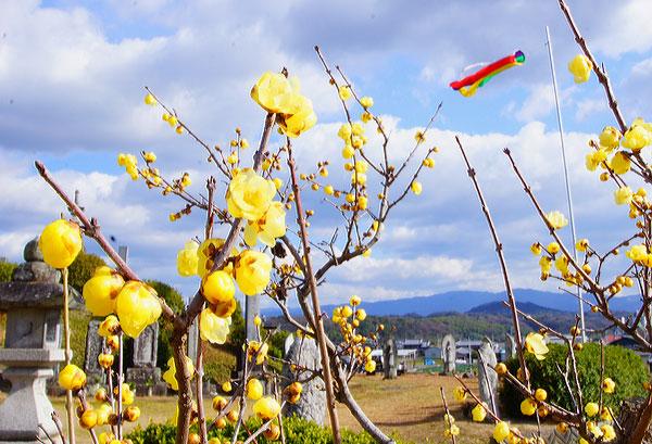 豊中 延命寺のロウバイ8分咲き 見ごろなり