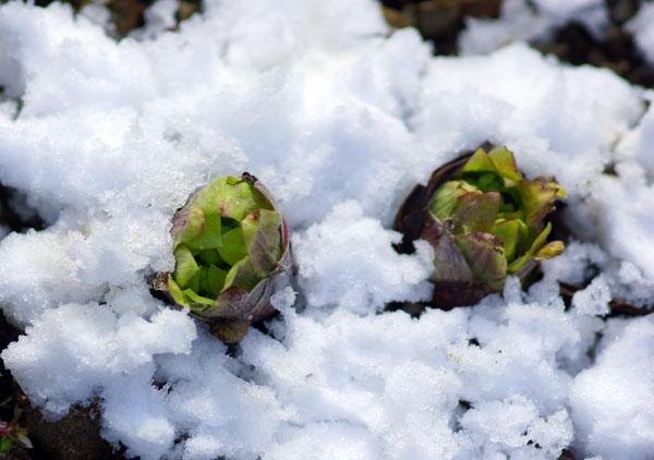 讃岐の雪をかき集めて・・雪の蕗の薹