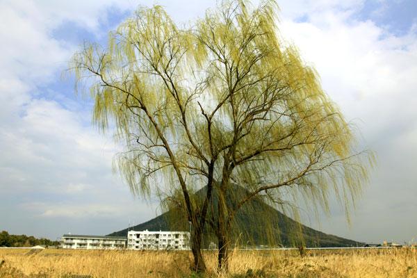 土器川の枝垂れ柳はうすみどり・・