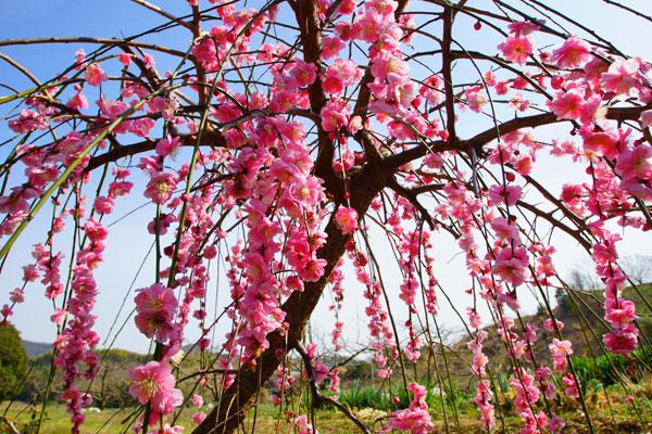 田んぼの片隅で誇らしくピンクの花を咲かせている
