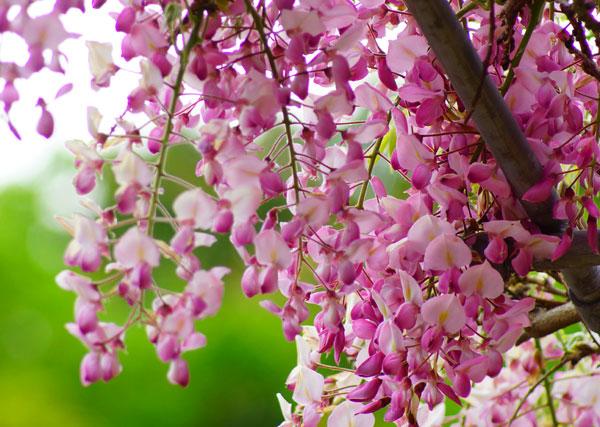 西植田 藤尾神社の藤棚には五種類の藤の花があるの