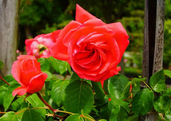 番の洲公園のばらも終わりかけるその中にも赤いきれいな花あり ・・