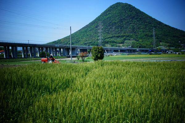 讃岐富士の麓の麦畑赤い耕耘機が行ったり来たり ・・