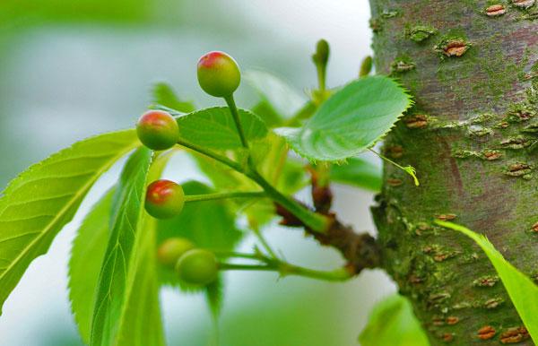 バードゴルフ場のフェアウエイの木に小さきサクランボが熟れつつあり・・