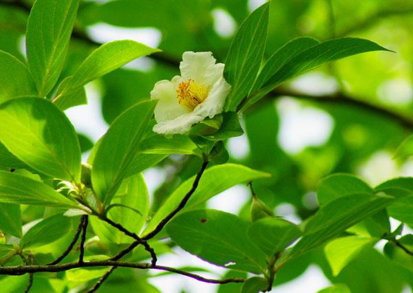 西念寺に白く優雅に咲いてしばらく騒音から逃れられる ・・