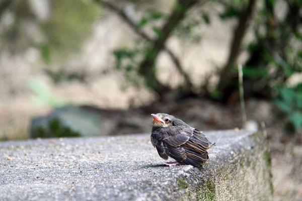 城山神社での子雀の巣立ち まだ生え揃わぬ羽で懸命に飛ぼうと ・・