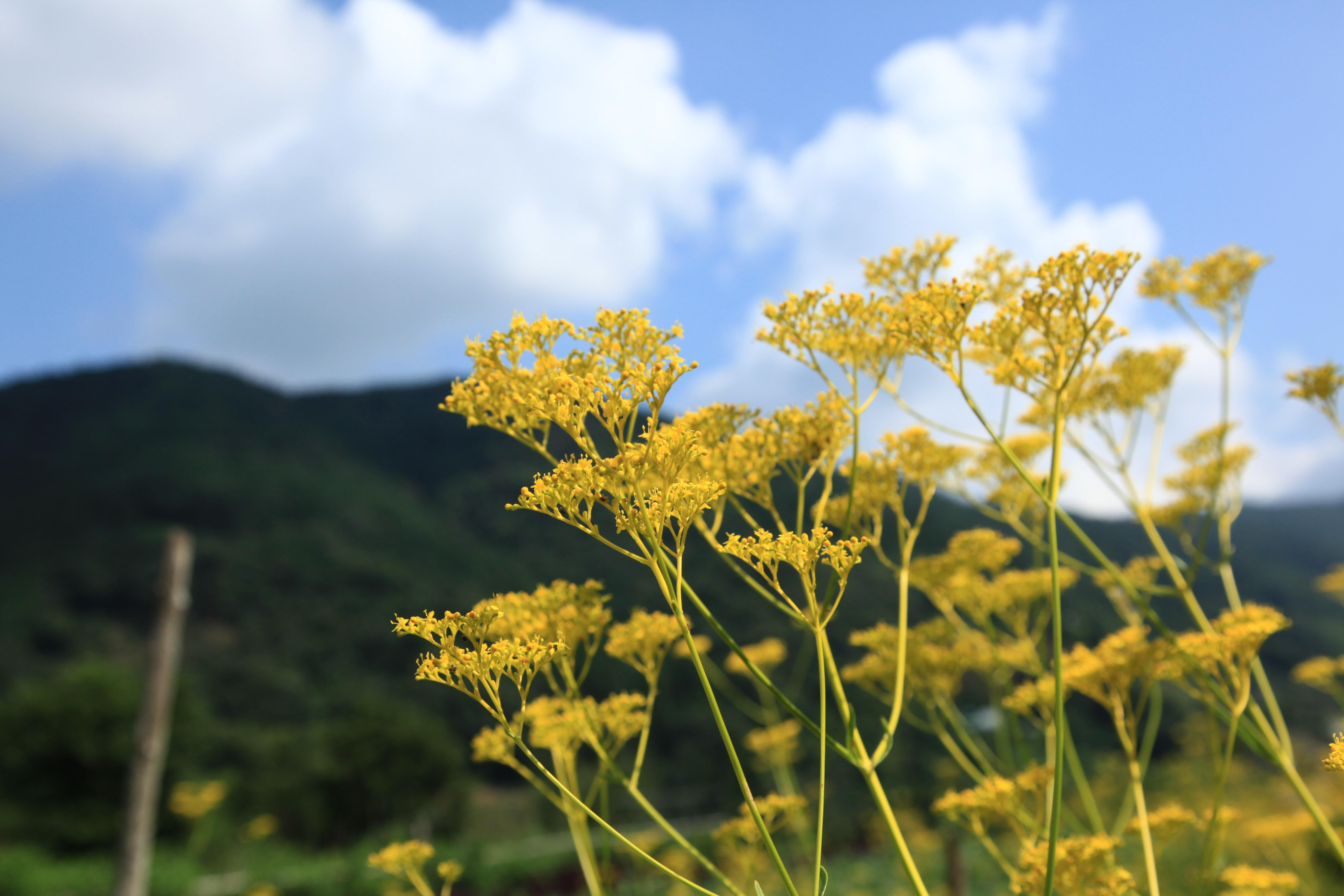オミナエシ 真っ黄色の花に秋の虫が集まりて・・