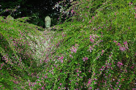 満開の萩の花 萩原寺