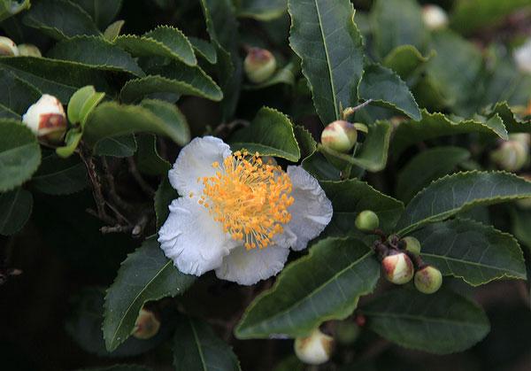 柔らかい白き五弁に金色の蕊